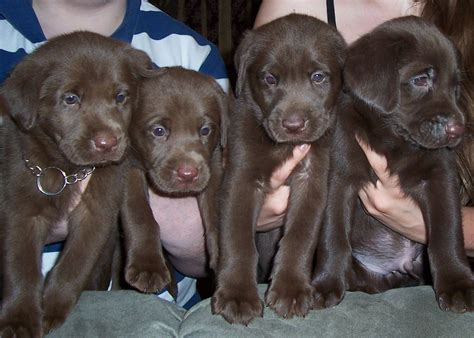 blockhead lab puppies for sale notakennel labrador retriever breeder chesnee south carolina