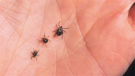 tick lyme disease tick bites lyme disease symptoms prevention and tick removal farmer s almanac