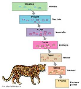 Classification Of A Jaguar Animal Taxonomy Animal Trees Fascinating Animals