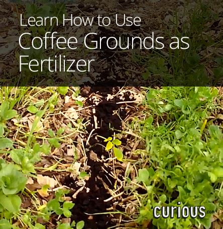 How To Use Coffee Grounds As Fertilizer Save Gardening Coffee Grounds Vegetable Garden