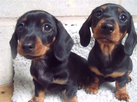 mini weiner miniature dachshund www imgkid the image kid has it