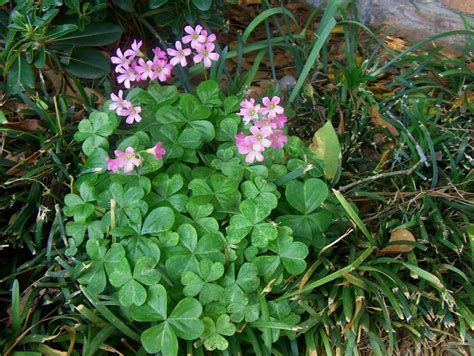 online plant guide oxalis crassipes oxalis