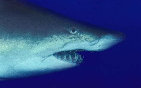 shark species  lurk   mediterranean