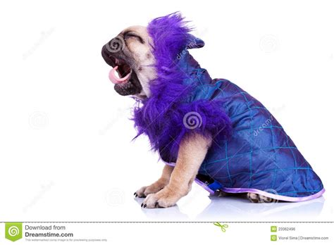 puppy screaming side of a screaming pug puppy royalty free stock image image 23362496