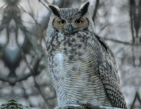 great horned owl life expectancy