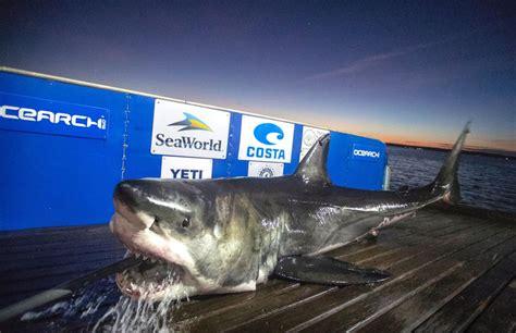 great white sharks swim  charleston   winter