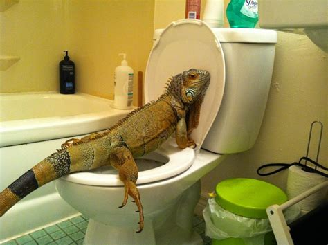 How To Sit In European Closet by Www Monitor Lizards Net Keeping Monitor Lizards