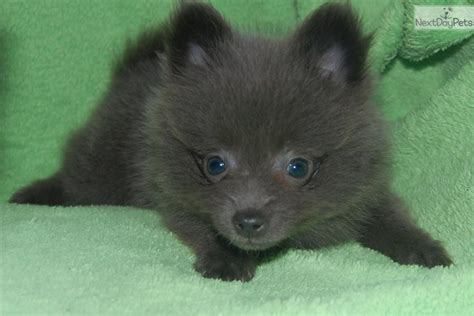 silver pomeranian puppies pomeranian puppy for sale near fort wayne indiana aa2dedca 2141