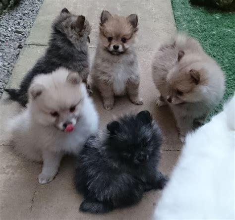colored pomeranian puppies pomeranian puppies 1 color 1 orange for sale adoption breeds