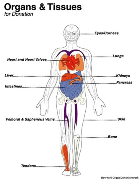 human tissue diagram 7 important reasons to become an organ donor aha now