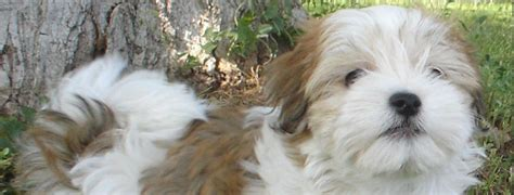 havanese litter size havanese breed guide learn about the havanese