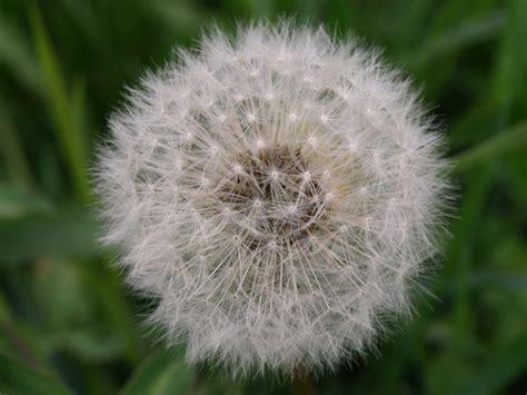 fiore a palla antola