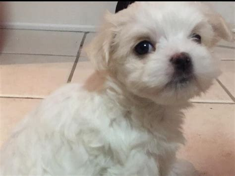 Maltese Birth Records Tina Herget Maltese Puppies For Sale