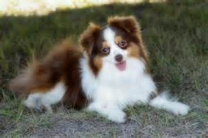 australian shepherd colors colors do australian shepherds come australian shepherd