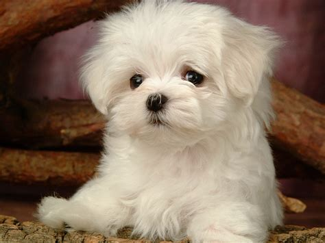 little house of dogs fluffy mini dogs www pixshark com images galleries with a bite