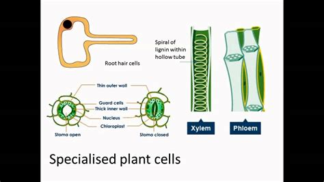 specialized cells cells have jobs too start a new page add it to