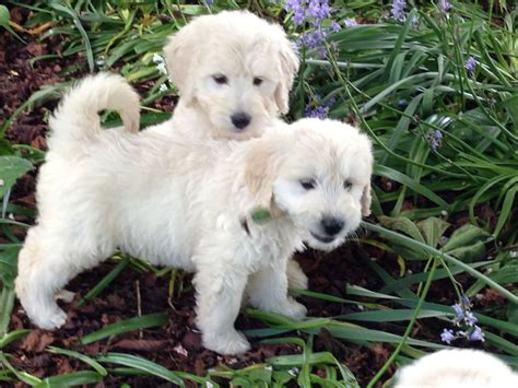 goldendoodle puppies f1 goldendoodle puppies grantham lincolnshire pets4homes
