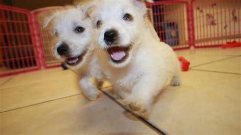 westie puppies for sale in ga sweet westie puppies for sale in at puppies for sale local breeders