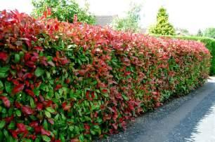 photinia evergreen hardy fast growing hedge bush