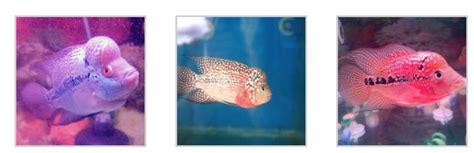 Cacing Untuk Louhan jenis dan cara perawatan ikan louhan tscribbles