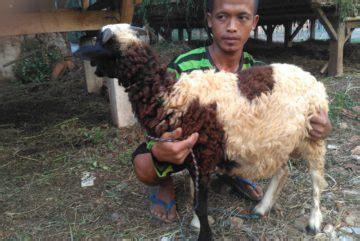 Menyediakan Kambing kambing bogor menyediakan kambing berkualitas dan