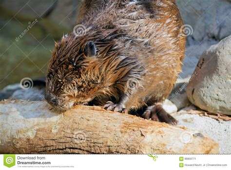 beaver woodworking beaver chewing on wood stock photo image 66859771