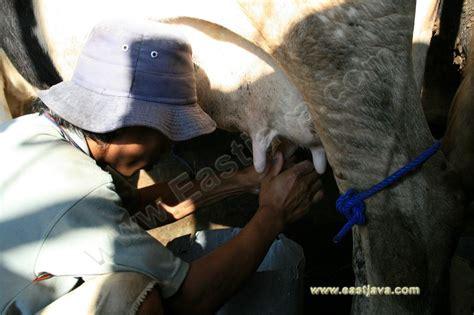 industri susu sapi berada  desa tutur pasuruan