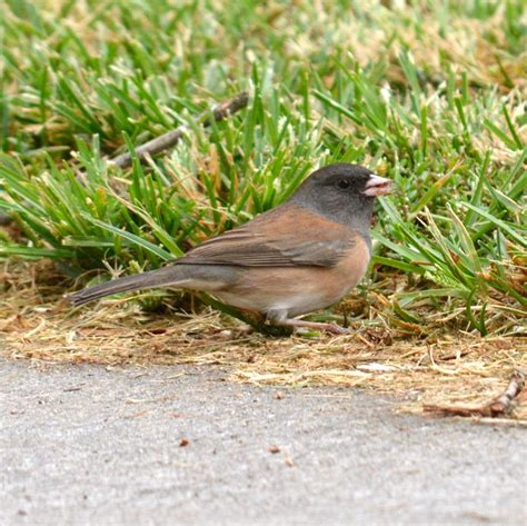 oregon junco gallery