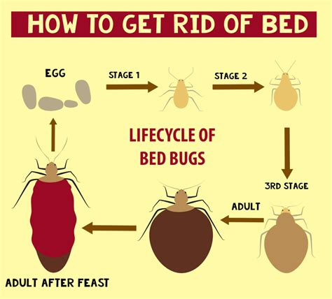 how to get rid of bed bugs infographic thepestkillers