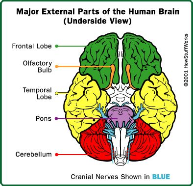 brain sections and what they do parts of the brain how comas work howstuffworks