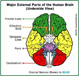 Parts of the brain the brain is made up of