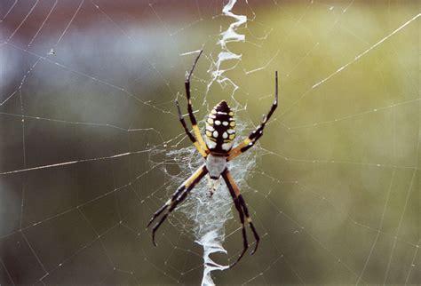 Garden Spider Argiope Florida Nature Argiope Aurantia Yellow Garden Spider