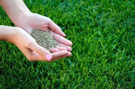 Grass Seeds by Types Of Cold Hardy Grass Seed Tips On Planting Grass