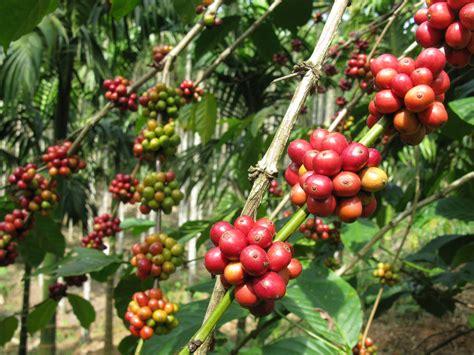 coffee plant wallpaper coffee plantations indian estates