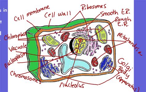 Drakes Creek Middle School Plant Cell Coloring