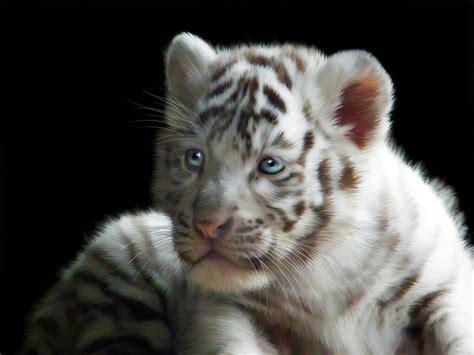 White Tiger L by White Tiger Cub By Julie L Hoddinott