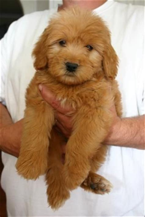 f1b goldendoodle puppies for sale california our photo gallery tiny teacup goldendoodles micro mini goldendoodles mini