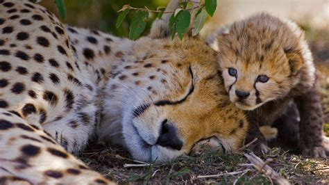cheetah and cheetah cubs and www pixshark images