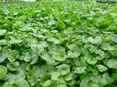 piccola area di terreno con erba e fiori trifoglio nano domande e risposte coltivazione
