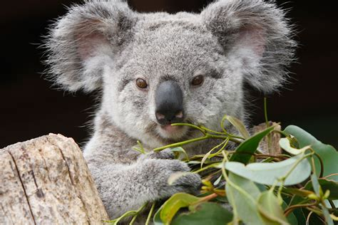koala hängematte la mirada animal fotos de animales rtve es