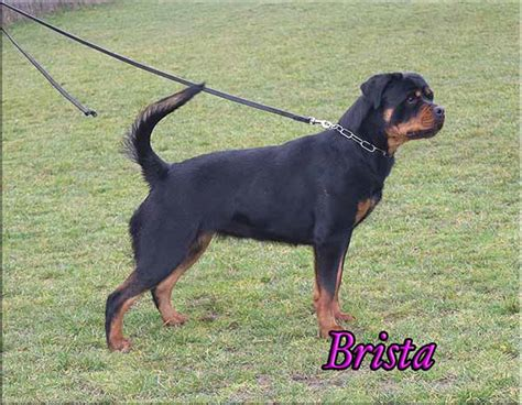 purebred rottweiler puppies for sale in nj rottweiler breeders rottweiler puppies for sale german rottweilers breeds picture