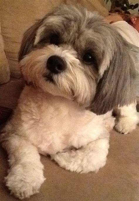 shih poo hair cuts 40 best shihpoo shih tzu poodle cross images on pinterest