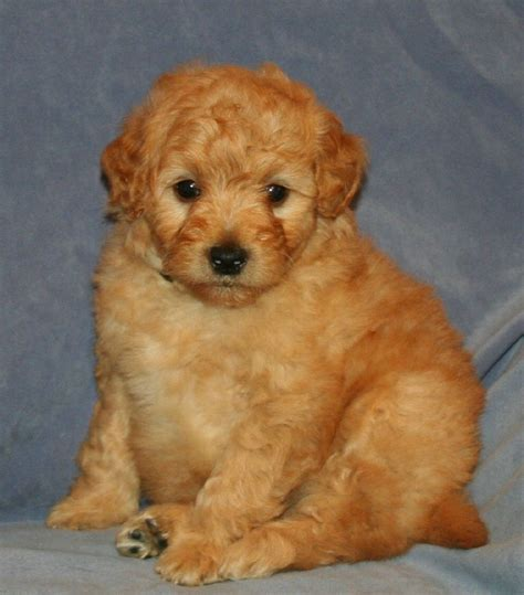 goldendoodle puppy for sale mini teddy goldendoodle puppies for sale in