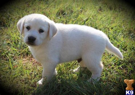puppies for sale in tx labrador puppies for sale white labrador puppies for sale