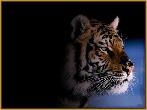 imagenes en 3d de tigres fotos de tigres para fondo de pantalla hd fotos de tigres