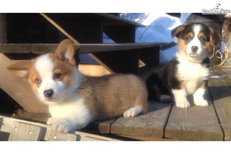 corgi puppies for sale in ny upstate ny corgi corgi puppy for sale near binghamton new york de7cce1e e8a1