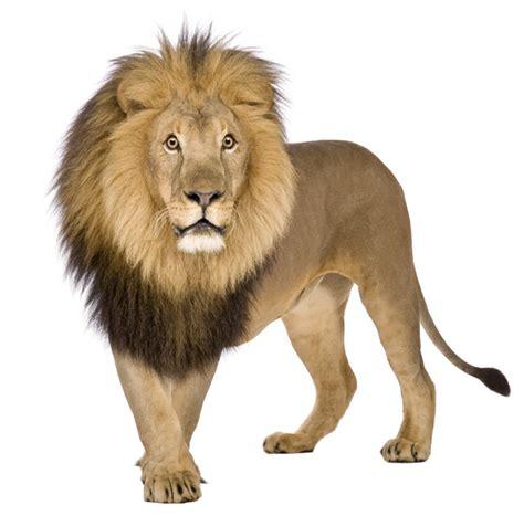 lion  lion   thought    biggest    big cats   world