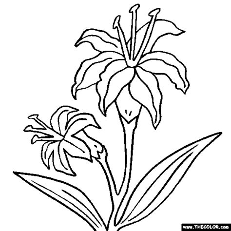 coloring pictures of lily flowers colouring pages of lily flowers free printable paint by