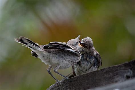 peep peep peep goes the mockingbird points in focus