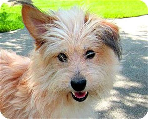 norwich terrier yorkie mix adopted 153 13 gig harbor wa norwich terrier mix